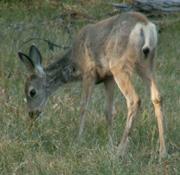 fawn nibbling Tetons trip 2006: