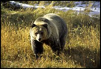 grizzly QTL: