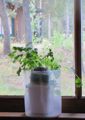 growing cilantro in a sunny window: a cilantro plant on a windowsill