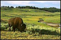 hayden valley bison terragalleria: