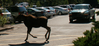 juvenile moose runs across parking lot lane: