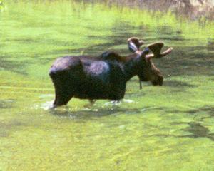 moose closeup by Wendy Sato: