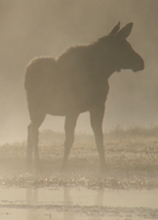 moose in mist smaller: