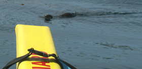 otter getting closer to kayak: