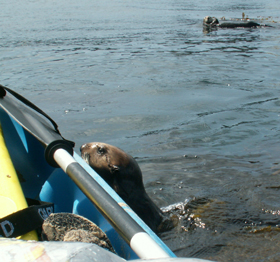 otter looks at paddle: