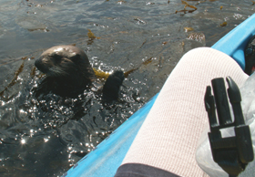 otter surfaces on left of kayak 2006: