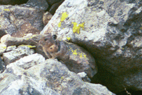 less grainy pika by Wendy Sato: