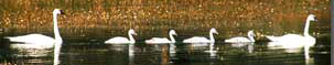NPS photo swan family: