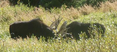 two moose closer by Sylvia Gallegos: