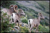 terragalleria three bighorn sheep:
