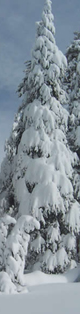 trees with heavy snow:
