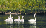 trumpeter swans NPS photo: