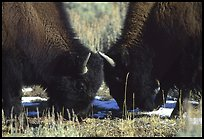two bison QTL: