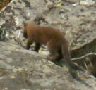 weasel in rockfield Grand Tetons park 2006: