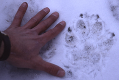 wolf track in snow photo by Barry O'Neill: