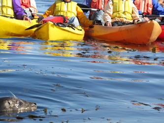 2010 closer view of seal near kayakers.jpg: head of a seal above water near a few kayaks