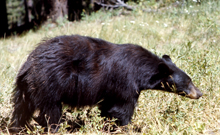 NPS black bear 220 pxls: