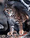 nps photo bobcat: nps photo of a bobcat