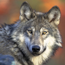 FWS photo gray wolf 130 pixels: head and shoulders of a gray wolf