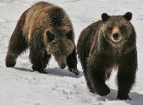 G399 cubs NPS photo by Gary Pollock: two bears just out of hibernation walking on the snow
