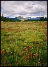 Indian Paint Brush and Lambert Dome Tuolumne Meadows by Quang-Tuan Luong: