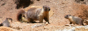 Marmot mom and two babies: