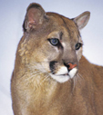nps photo of a mtn lion: nps photo of a mountain lion