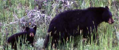 NPS Yellowstone black bear and cub: cub, looking towards camera, follows a black bear through a deep grassy area
