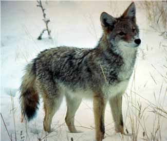 NPS coyote from Tuol winter page: