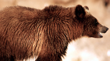 NPS grizzly 220 pxls:
