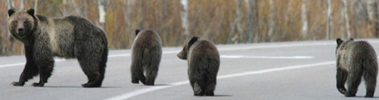 NPS photo Griz and cubs cross road: