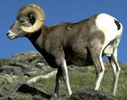 NPS photo bighorn sheep 100 pixels: a bighorn sheep from the side