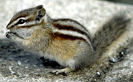 NPS photo chipmunk: chipmunk munching