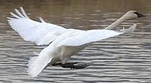 NPS photo swan landing: a Trumpeter swam with outspread wings landing on a waterway