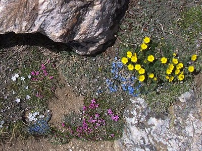 nps photo of alpine flowers: tiny flowers on low alpine plants rocks
