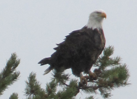 bald eagle in tree by snake river 2010: bald eagle sitting on tree branch
