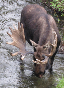 bull moose drinking water photo by Alan Ahlstrand: bull moose with head bent down to drink water