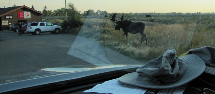 bull moose moving from sage flats to parking lot: bull moose walking from sage flats to parking lot