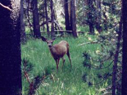 deer on trail to swim hole: