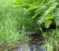 ferns and creeklet at Happy Isles fen:
