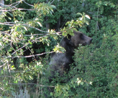 griz eating service berries Tetons photo by Alan Ahlstrand: griz in bushes eating service berries and bushes