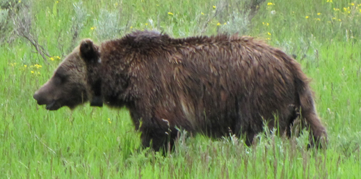 grizzly bear in meadow off oxbow bend June 2014: grizzly bear walking in a flowery meadow