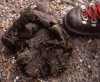 grizzly bear scat photo by J Schmidt: