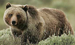 NPS photo of a grizzly bear identified as by photographer Peaco: NPS photo of a grizzly bear identified as by photographer Peaco