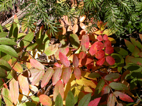 leaves red pink yellow: