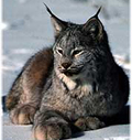 nps photo lynx: nps photo of a lynx