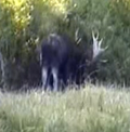 moose browsing after thrashing bushes: