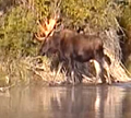 moose crossing to island 120 pxls: