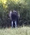 moose thashing bushes two: