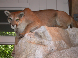 mountain lion at Happy Isles: